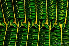 SADLERIA (Mark James Ford) Tags: foveon sdqh sdquattro sigmafoto sigmaphoto sigma bigisland hawaii fern sadleria sadleriacyatheoides green yellow dark light shine markjamesford plant flora leaf amaumau