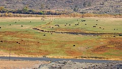 The Cattle are Grazing (Eclectic Jack) Tags: eastern oregon trip october 2018 rural agriculture autumn fall abandoned cattle graze grazing field animal landscape