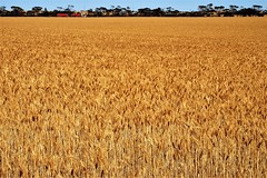 Nearly Harvest time!  The Road to Port Clinton, Yorke Peninsula, South Australia (Red Nomad OZ) Tags: australia southaustralia portclinton yorkepeninsula farm agriculture field rural country countryside road