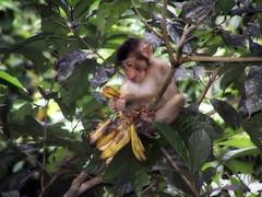 monkey diet (oasipictures) Tags: borneo jungle animals monkeys