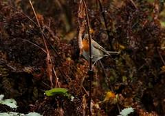 IMG_5122 (monika.carrie) Tags: monikacarrie robin wildlife scotland aberdeen