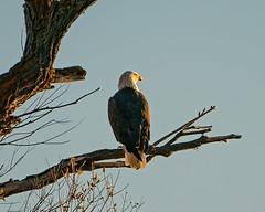 Admiring the Sunset (lennycarl08) Tags: lowerklamathnwr raptor birdofprey birds eagle baldeagle