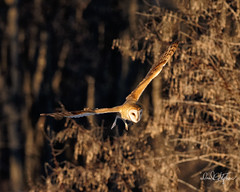 Barn Owl Spots Prey (dcstep) Tags: dsc6143dxo owl barnowl bif birdinflight flying flight fly wing feathers tan brown sonya9 fe400mmf28gmoss handheld cherrycreekstatepark colorado usa greenwoodvillage allrightsreserved copyright2019davidcstephens dxophotolab221