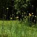 Natchez Trace - Wildflowers