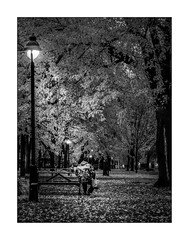 Octobre tient sa revanche. (francis_bellin) Tags: 2018 blackandwhite novembre street homme réverbères montréal nuit arbres noiretblanc monochrome repos parc bw rue parclaurier urbain streetphoto photoderue banc