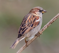 Invasive Sparrow (tresed47) Tags: 2018 201811nov 20181119chestercountybirds birds canon7dmkii chestercounty content fall folder housesparrow november pennsylvania peterscamera petersphotos places season sparrow takenby us ngc