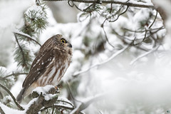 ''La rêveuse!'' petite nyctale-Northern saw-whet owl (pascaleforest) Tags: oiseau bird animal passion nikon nature wild wildlife faune québec canada owl hibou neige snow white dream rêve blanc