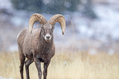Snowy Stare down... (DTT67) Tags: ram bighornsheep snowflurries snow mammal wyoming 1dxmkii 500mmii canon animal nature wildlife