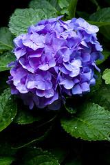 Hydrangea (Sal Tinoco) Tags: blue flora flower green hydrangea hydrangeas leaf nature outside petal purple fantasticflower