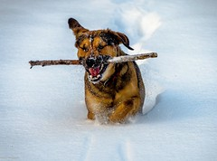 Hera in Action (Andi Fritzsch) Tags: snow winter apportieren dog dogs action