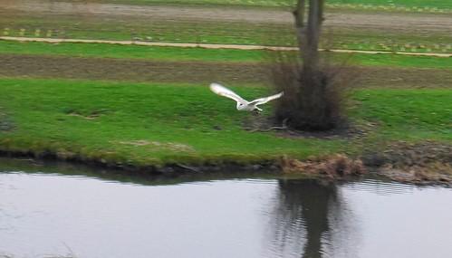Barn Owl in flight at Warwick Castle