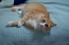 Jimmy hanging over the end of Sally's bed (rootcrop54) Tags: jimmy orange ginger longhaired longhair tabby male bedspread teal lounging neko macska kedi 猫 kočka kissa γάτα köttur kucing gatto 고양이 kaķis katė katt katze katzen kot кошка mačka gatos maček kitteh chat ネコ