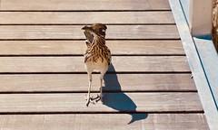 Big Bend National Park bird (throgers) Tags: bigbend bigbendnationalpark bird brewstercounty nationalpark nationalparkservice nps riograndevillage texas westtexas