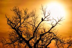 Sunrise American Bald Eagle (Bernie Duhamel) Tags: americanbaldeagle raptor bird birdsofprey colorado coloradowildlife wildlife frontrange greatphotographers teamsony rockymountains rockymountianarsenalnationalwildliferefuge commercecity bernie duhamel sonya9 sonyfe100400mm