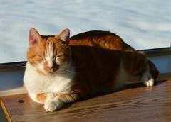 Soaking Up the Morning Sun (linda_lou2) Tags: odc warminguporcoolingdown 119picturesin2019 14365 themeno44 feline 44119 365the2019edition 3652019 day14365 14jan19 cat buddy sunshine warm