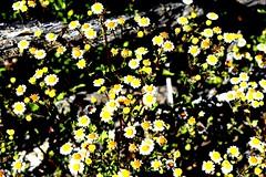 Pretty little weeds (thomasgorman1) Tags: weeds flowers baja desert nikon bloom blooming nature pretty mexico mx plants flowering