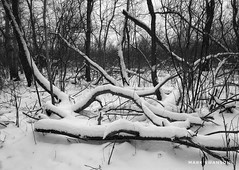 Snow Covered (mswan777) Tags: nature outdoor mobile iphone iphoneography apple ansel monochrome black white trail hike michigan stevensville landscape scenic cold winter snow wood forest tree