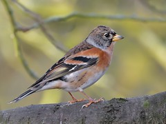 Brambling (KHR Images) Tags: brambling fringillamontifringilla finch wild bird winter migrant sculthorpemoor norfolk wildlife nature nikon d500 kevinrobson khrimages