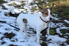 Molly (1) (AlmostHome_Dog) Tags: almost home dog rescue north wales jack russell terrier dachshund