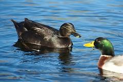 Stick play (JSB PHOTOGRAPHS) Tags: jsb0311 altonbakerpark blackduck ducks pond water eugeneoregon d3 nikon 80400mm