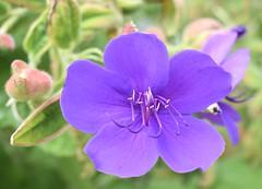 Purple (MJ Harbey) Tags: flower plant purpleflower bright kew kewgardens london unescoworldheritagesite worldheritagesite royalbotanicgardenskew royalbotanicgardens nikon d3300 nikond3300