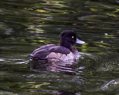 Tufted Duck F00451 Fairburn Ings D210bob DSC_4993 (D210bob) Tags: tuftedduck f00451 fairburnings d210bob dsc4993 nikond7200 birdphotography birdphotos naturephotography naturephotos nikon wildlifephotography nikon200500f56 rspb