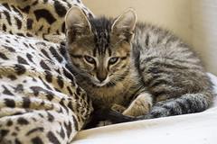 Animal print (cesarbilan) Tags: felipe gato felino