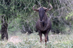 Common/Blue Wildebeest (Connochaetes taurinus) (Ardeola) Tags: connochaetestaurinus bluewildebeest commonwildebeest wildebeest strimmiggnu gnu mkuze mkuzegamereserve southafrica wildlife mammal