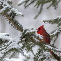 Baby It's Cold Outside (glenda.suebee) Tags: cardinal winter 2018 ohio red spruce snow ohiofoothills glendaborchelt babyitscoldoutside explore