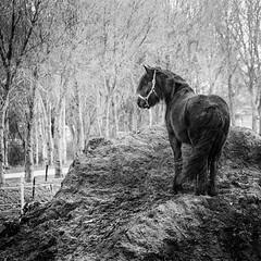 Dutch mountain horse (andzwe) Tags: horse mountain top berg zang heuvel hill paard blackhorse wild zwartpaard dutch dutchlandscape nederland panasonicdmcgh4 panasoniclumixdmcgh4 vierkant winter autumn herfst trees baretrees kalebomen monochrome blackandwhite zwartwit dutchmountain eerbetoon