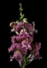 Pink Snapdragon In The Light (Bill Gracey 22 Million Views) Tags: pink snapdragon fleur flower flor flowers flores color colorful homestudio blackbackground yongnuo sidelighting filllight tabletopphotography yongnuorf603n shapes shadows textures antirrhinum lakeside macrolens