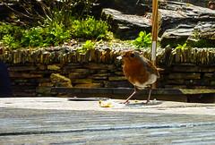 A very Friendy Robin (Geordie_Snapper) Tags: boscastlevillagecentre cornwall holidayboscastle june lumuxcamera robin summer sunny wildlife