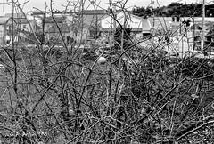 leica lllf + elmar 5cm f2.8 (joxe@n) Tags: leicalllf elmar5cmf28 35mm fomapan100 r09oneshot rodinal film analogico analogica revelado aybalaostia joxenfoto joseantonioandresgomez blanconegro bw alamedilla salamanca epson