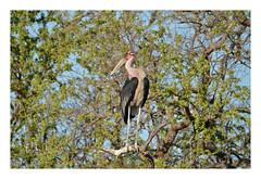 Marabout d'Afrique (FLL087) Tags: oiseau échassier bird afriquedusud southafrica nature kruger charognard