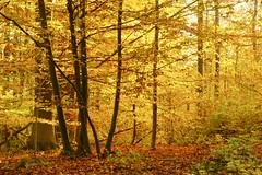 Herbstwald, (izoll) Tags: herbst herbstfarben oktober jahreszeiten izoll sony alpha77ii natur naturaufnahmen gelb laub herbstlaub wald herbstwald bäume baum