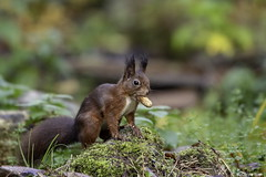 Red squirrel (Corine Bliek) Tags: sciurusvulgaris zoogdier red small trees rood bomen nature natuur grass mammal wildlife herfst forrest autumn bos