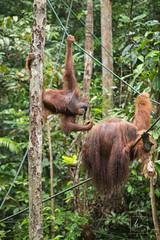 MIC_5353 (Michael Boon Photography) Tags: wildlife animal orangutan borneo sarawak kuching malaysia canon 5dmarkiii 70200 monkey ape forest rainforest jungle green nature natural habitat