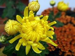Chrysantheme (Gartenzauber) Tags: floralfantasy