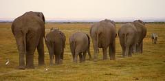 Follow the leader (lesleydugmore) Tags: animals elephants zebrea bird plain safari kenya africa outside outdoor