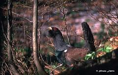Capercaillie - Gallo cedrone (silvano fabris) Tags: canon wildlife photonature nature animals birds tetraonidi capercaillie gallocedrone