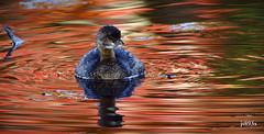 Pied-billed Grebe (jt893x) Tags: 150600mm bird d500 grebe jt893x nikon nikond500 nonbreeding piedbilledgrebe podilymbuspodiceps sigma sigma150600mmf563dgoshsms waterbird thesunshinegroup coth alittlebeauty coth5 sunrays5 ngc