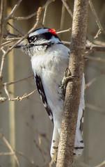 Downy Woodpecker (mahar15) Tags: woodpecker downywoodpecker bird nature wildlife maledownywoodpecker malewoodpecker