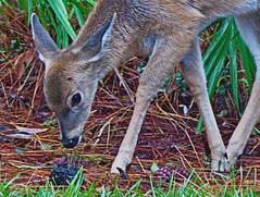 Nature in Perdido! (Pacht1111) Tags: floridadeer bambi babydeer inmyyard fawn deer