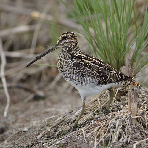 "African Snipe, Gallinago nigripennis at Marievale Nature Reserve, Gauteng,South Africa • <a style=""font-size:0.8em;"" href=""http://www.flickr.com/photos/93242958@N00/45417467614/"" target=""_blank"">View on Flickr</a>"