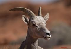 Sheeps Head (Pete Foley) Tags: bighornsheep nevada animalportrait whyimovedtovegas overtheexcellence littlestories picswithsoul