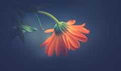 Wildflower (Dhina A) Tags: sony a7rii ilce7rm2 a7r2 a7r kaleinar mc 100mm f28 kaleinar100mmf28 5n m42 nikonf russian ussr soviet 6blades manualfocus