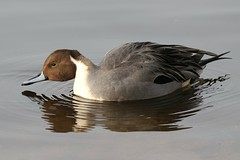 0M2A2213 Pintail (kevin_livesey) Tags: pintail wildfowl wwt martin mere wetlands bird birdwatching
