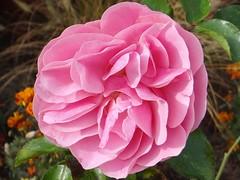 Pink Rose (Gartenzauber) Tags: iloveyourphoto floralfantasy