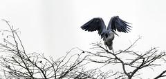 airone cenerino  2018-12-29 255-2 (papamillo) Tags: natura uccelli varesotto lagodivarese lombardia italy papamillo nikond5300 tamron150600 animali birds cazzagobrabbia gabbiano paludebrabbia varese italia aironecenerino ardeidae ardeacinerea