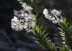 Dubautia ciliolata seeds (J. B. Friday) Tags: hawaiivolcanoesnationalpark maunaloa dubautia dubautiaciliolata asteraceae hawaiiannativeplants nativehawaiianplants